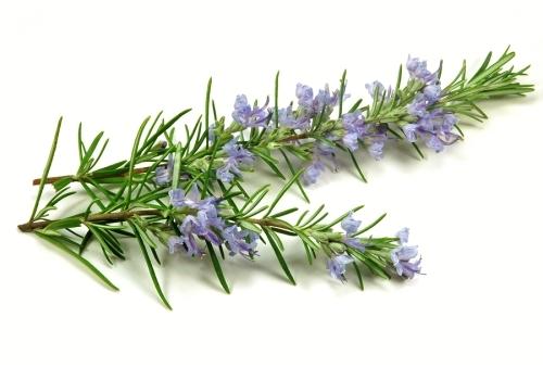 Rosemary (Rosmarinus officionalis)